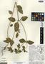 Croton hirtus L'Hér., Mexico, T. S. Cochrane 8605, F