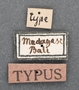Cicindela abbreviata var baliensis HT labels1