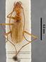 Pheggomisetes buresi PT dorsal habitus czp4