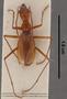 Pheggomisetes buresi medenikensis PT dorsal habitus czp3