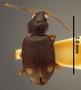 Bembidion igorot PT dorsal habtius hf24