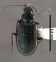 Bembidion louisella PT dorsal habitus czp5