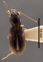 Bembidion alatum PT dorsal habitus czp3