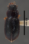 Amblygnathus gilvipes gilvipes PT dorsal habitus czp4