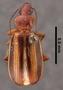 Amblytelus curtus continentalis PT dorsal habitus czp2