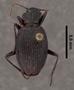 Anchomenus parabilis PT dorsal habitus czp8