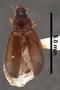 Dystrichothorax tasmaniensis PT dorsal habitus czp5