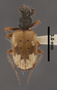 Lachnophorus montoroi PT dorsal habitus czp3