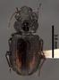 Minuthodes sexualis PT dorsal habitus czp5