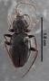 Anchomenus politulus PT dorsal habitus czm2