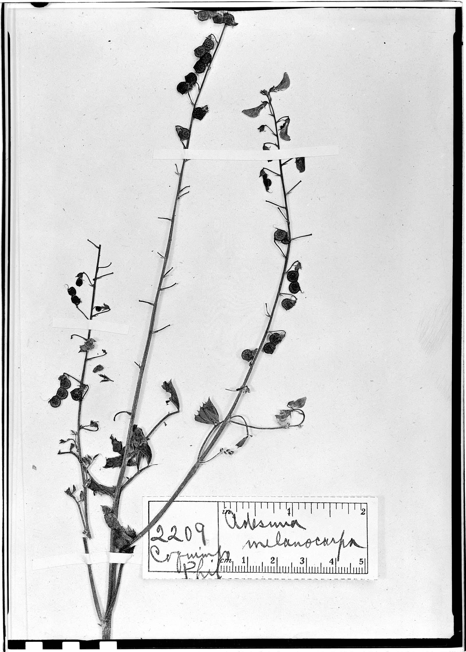 Adesmia melanocarpa image