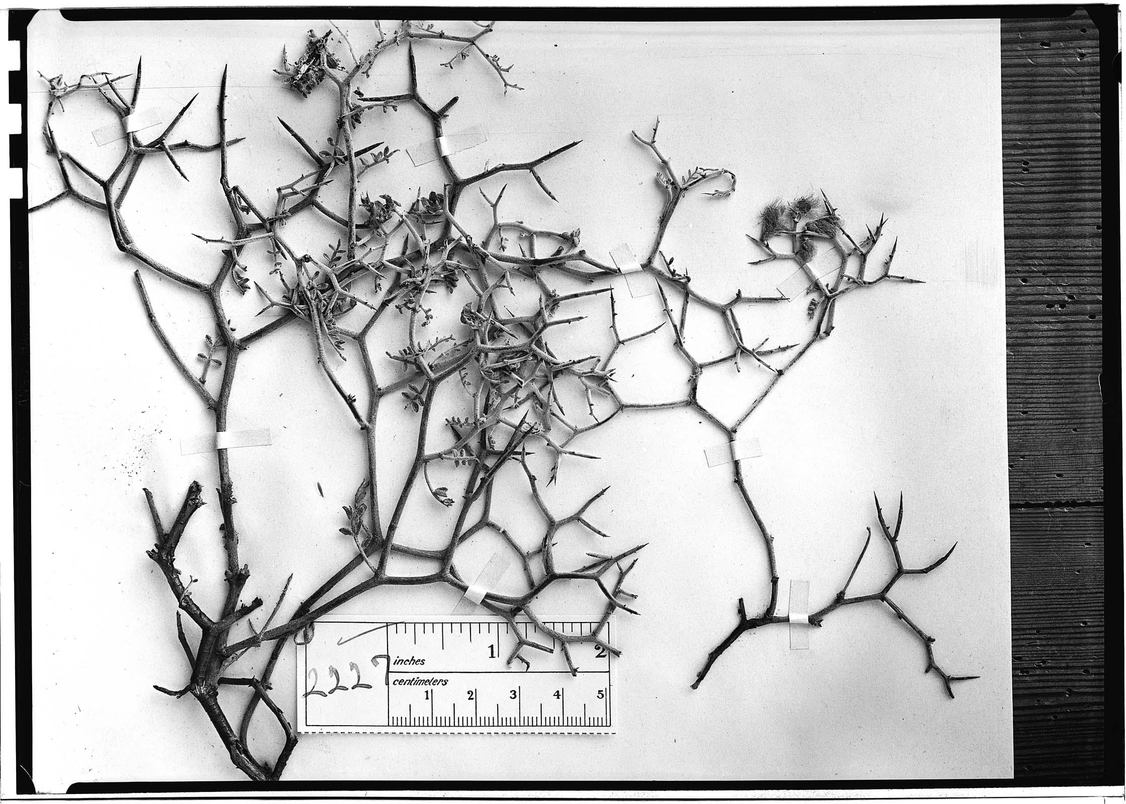 Adesmia sessiliflora image