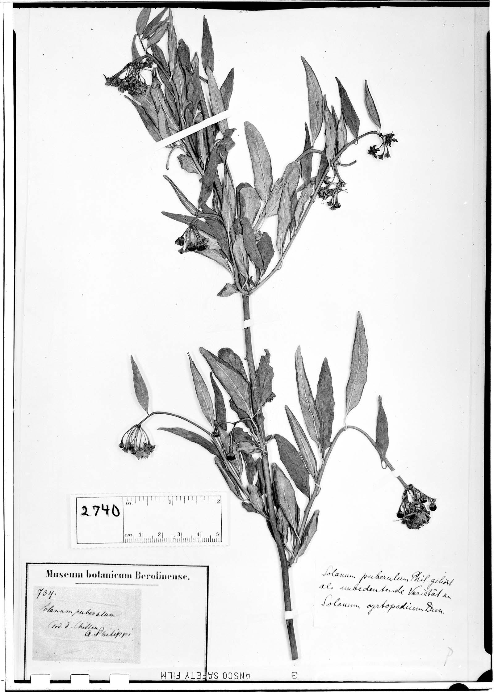 Solanum puberulum image