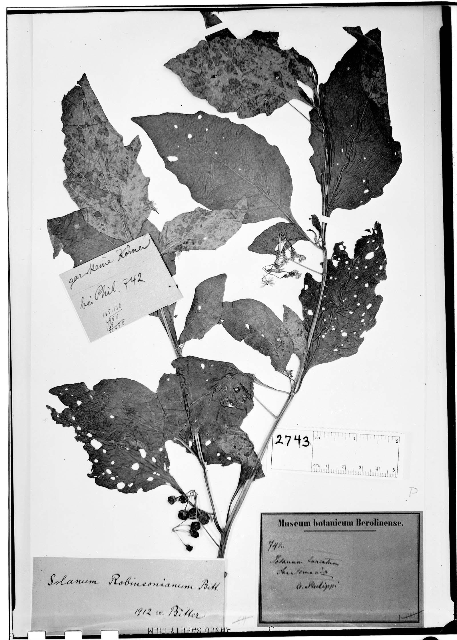 Solanum robinsonianum image