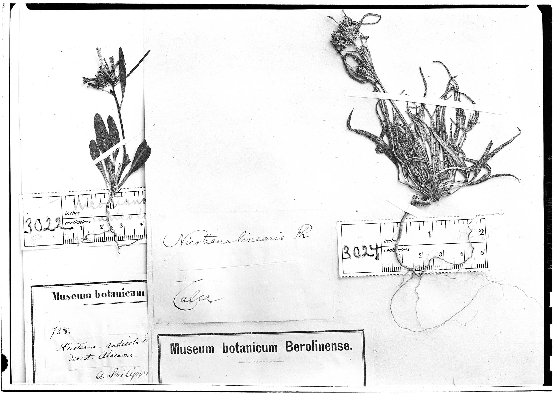 Nicotiana linearis image