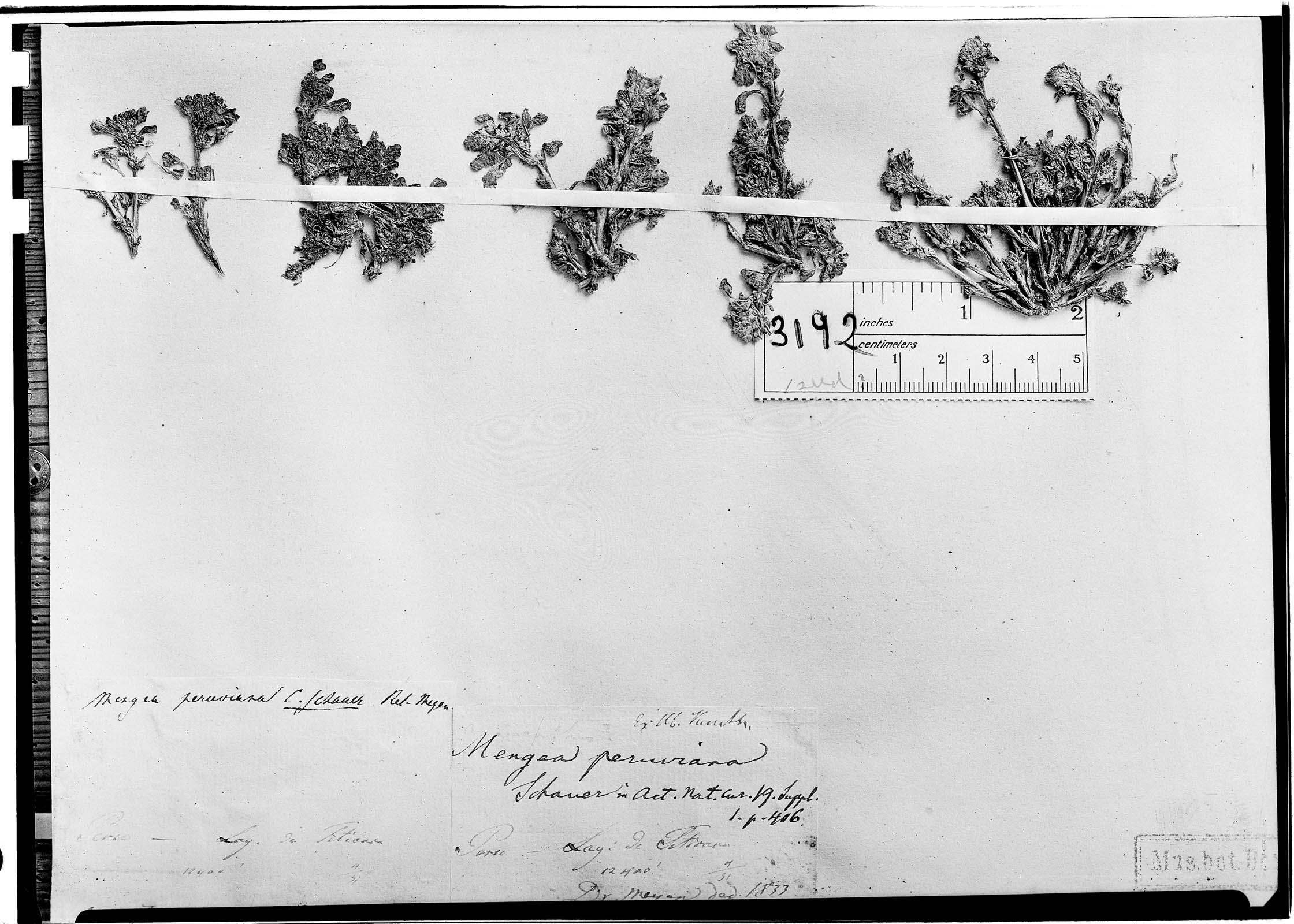 Amaranthus peruvianus image