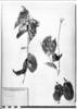 Hirtella bicornis image