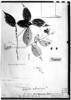 Licania hypoleuca image