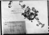 Bowlesia tropaeolifolia image