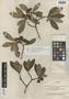 Image of Ternstroemia cuneifolia