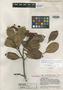 Ternstroemia acrodantha Kobuski & Steyerm., Venezuela, J. A. Steyermark 56582, Holotype, F