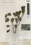 Ternstroemia crassifolia Benth., BRITISH GUIANA [Guyana], R. H. Schomburgk 602, Isotype, F