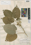 Croton peltophorus var. cuzcoanus Croizat, Peru, J. J. Soukup 789, Isotype, F