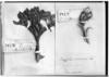 Azorella diversifolia image