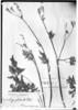 Osmorhiza glabrata image