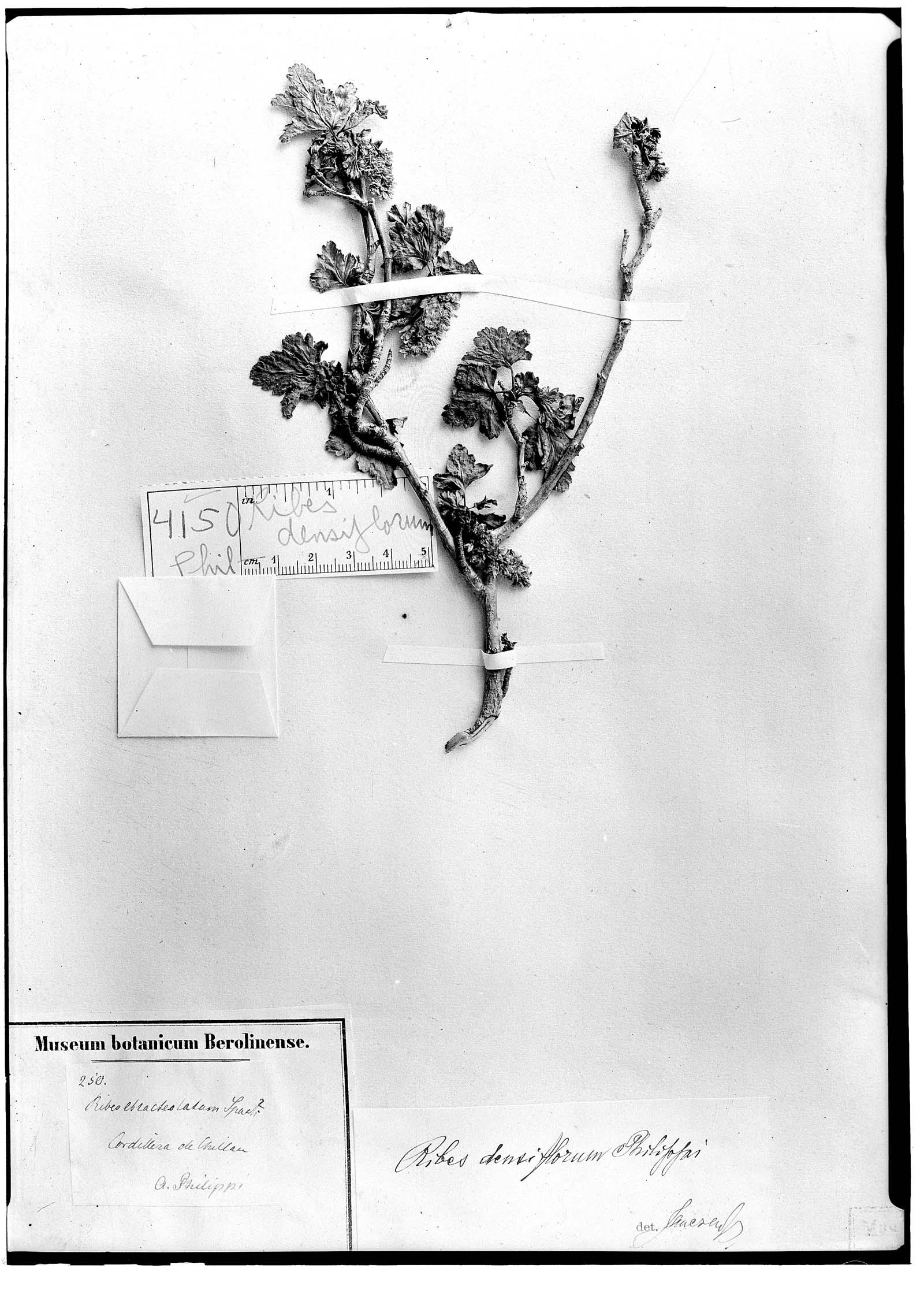 Ribes densiflorum image