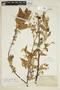 Guazuma tomentosa Kunth, BRITISH GUIANA [Guyana], F