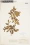Bursera tomentosa (Jacq.) Triana & Planch., COLOMBIA, F