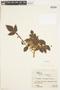 Bursera tomentosa (Jacq.) Triana & Planch., BRAZIL, F