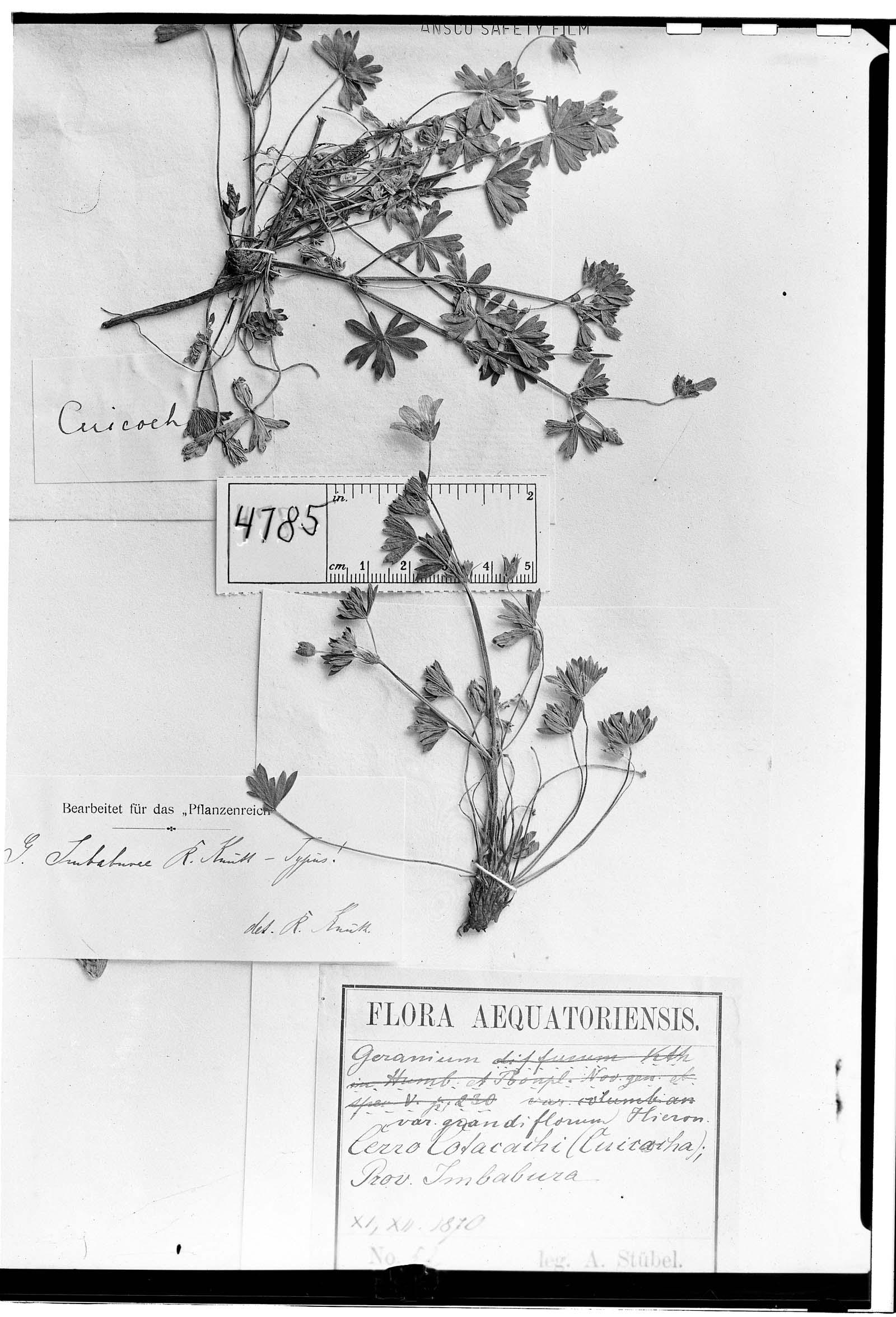 Geranium imbaburae image