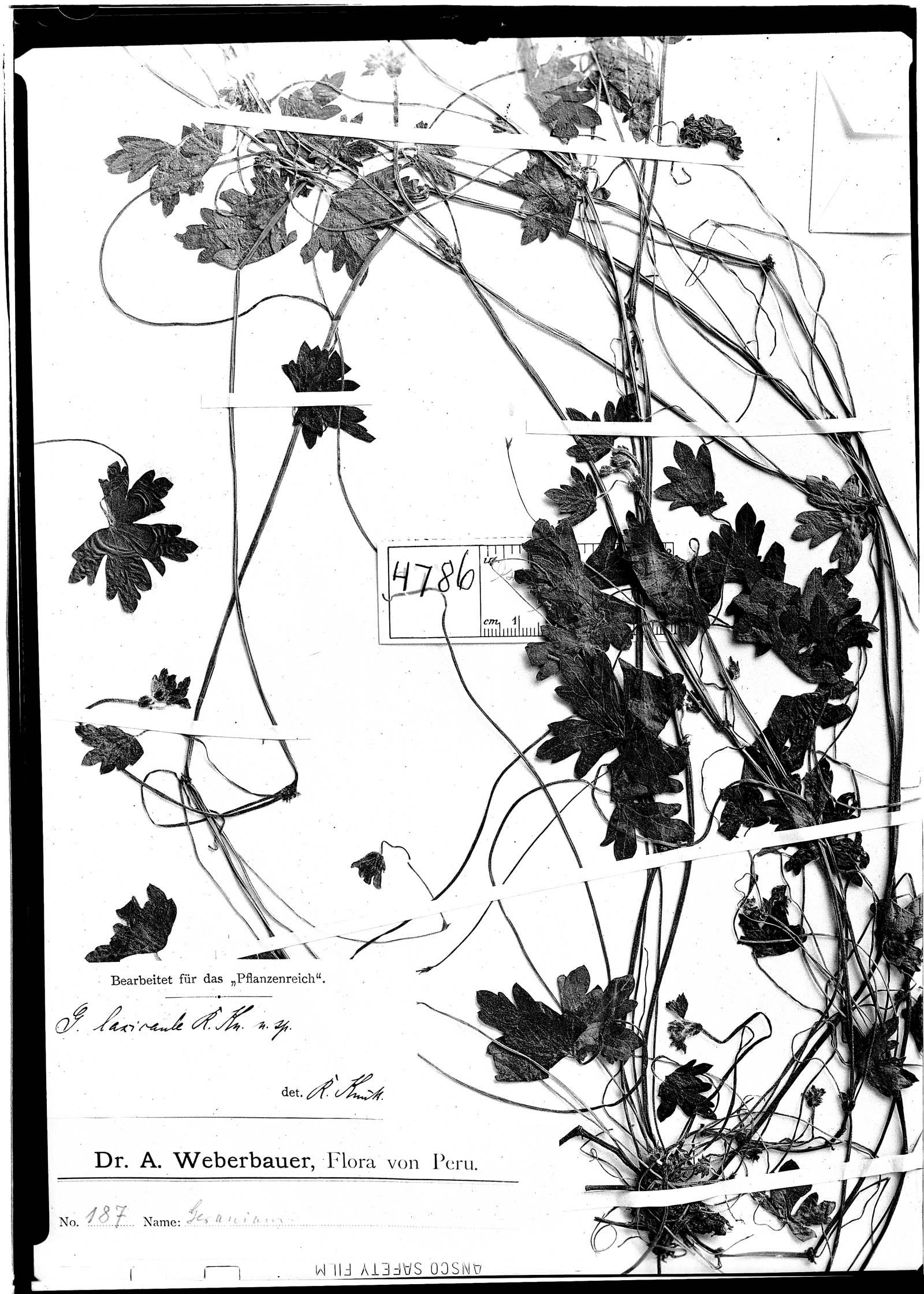 Geranium laxicaule image
