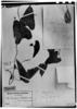 Aristolochia odoratissima image