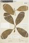 Pouteria subrotata Cronquist, PERU, F