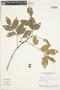 Protium guianense (Aubl.) Marchand, BRAZIL, F