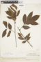 Protium guianense (Aubl.) Marchand, VENEZUELA, F
