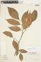 Protium guianense (Aubl.) Marchand, SURINAME, F