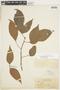 Protium guianense (Aubl.) Marchand, BRITISH GUIANA [Guyana], F