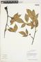 Protium guianense (Aubl.) Marchand, GUYANA, F