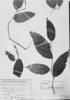 Piper trichogynum image
