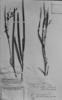 Scleria melaleuca image