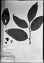 Field Museum photo negatives collection; München specimen of Heisteria spruceana Engl., Brazil, R. Spruce 1510, Holotype, M