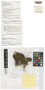 Bazzania nova J. J. Engel & G. L. Merr., New Zealand, J. Child H 4926, Holotype, F