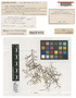 Frullania rechingeri Steph., SAMOA, C. Rechinger s.n., Isotype, F