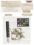 Frullania powelliana Steph., SAMOA, C. Rechinger s.n., Isotype, F