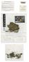 Chiloscyphus suboppositus J. J. Engel, Australia, J. J. Engel 14247, Holotype, F