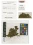 Haplomitrium monoicum J. J. Engel, NEW CALEDONIA, M. R. Crosby 14165, Holotype, F